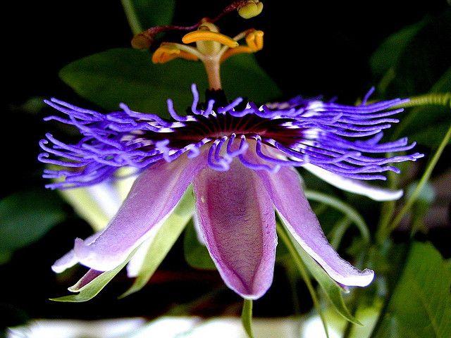 Passiflora Purple Haze Passion Flower Passiflora Purple Haze