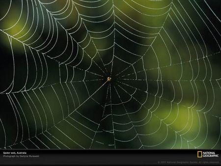 australia spider web - australia spider web, for you