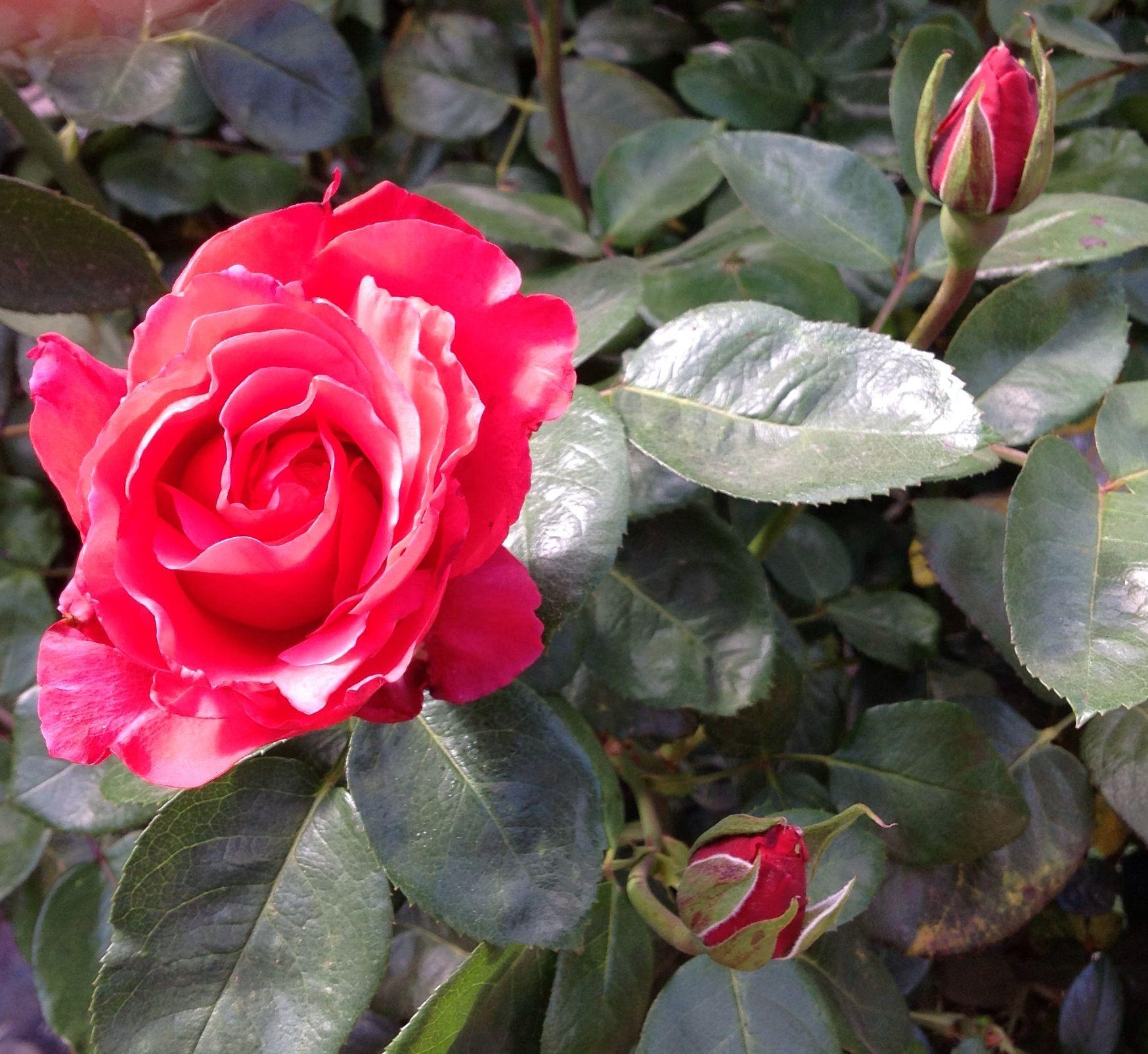 Rosa vermelha linda.