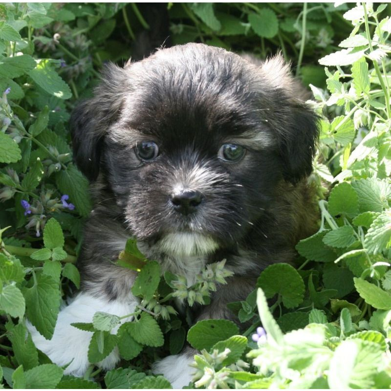 Puppies for sale - Shihpoos - in Glenwood, Missouri | fur