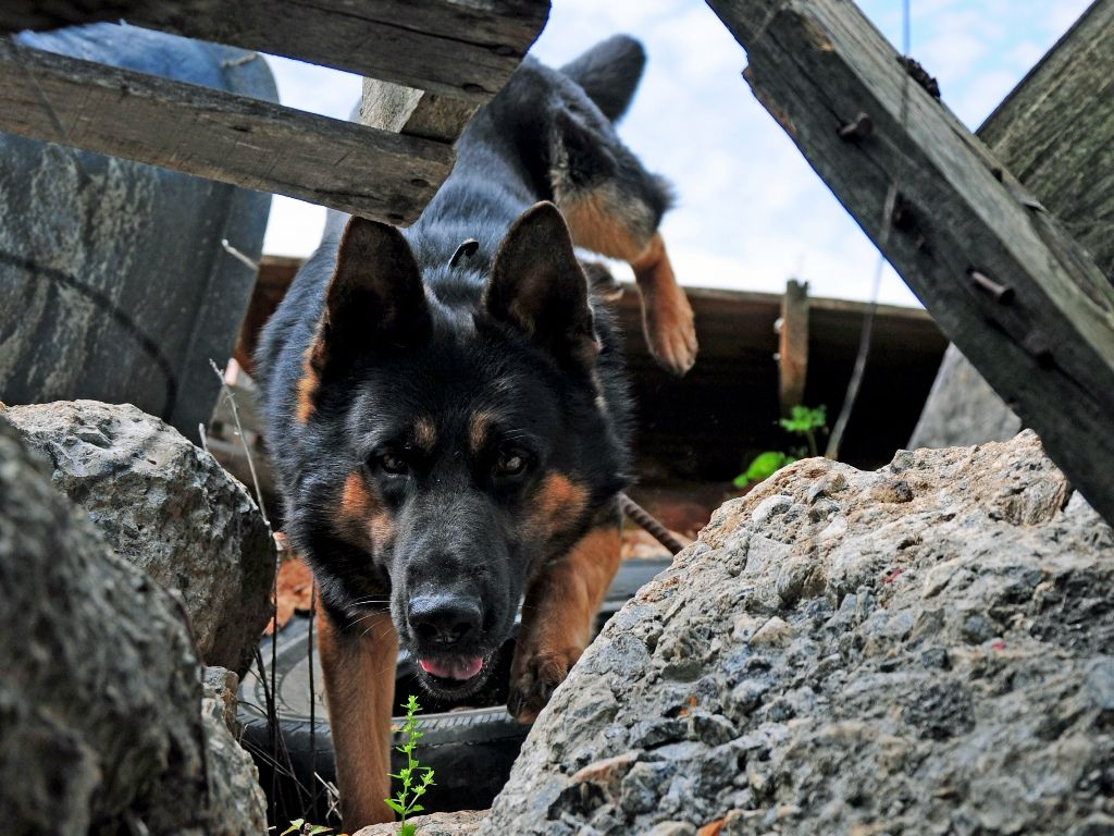 Search Rescue Dog Trainer Course Search And Rescue Dogs