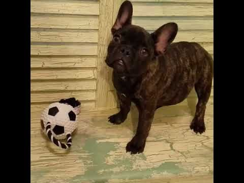 Mojito French Bulldog Puppy For Sale Near Houston Texas 2dc32834 02f1 Bulldog Puppies For Sale French Bulldog Puppy French Bulldog