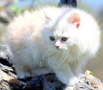 Visit Tormodkot Siberians Website Www Absolutelycat Cats Kittens Russian Siberian Cat Siberian Cat Breeders Cats