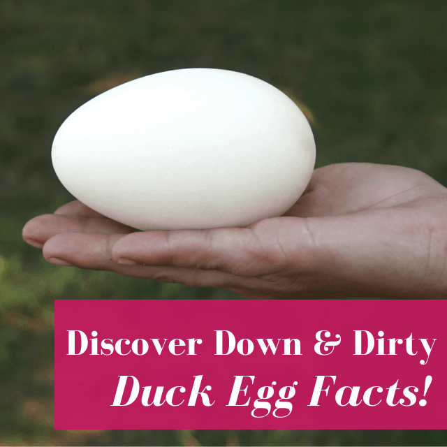 Duck Eggs Are So Good Blame It On The Huge Amount Of Nutrients Or Their Deliciousness Duck Eggs Eggs Raising Backyard Chickens