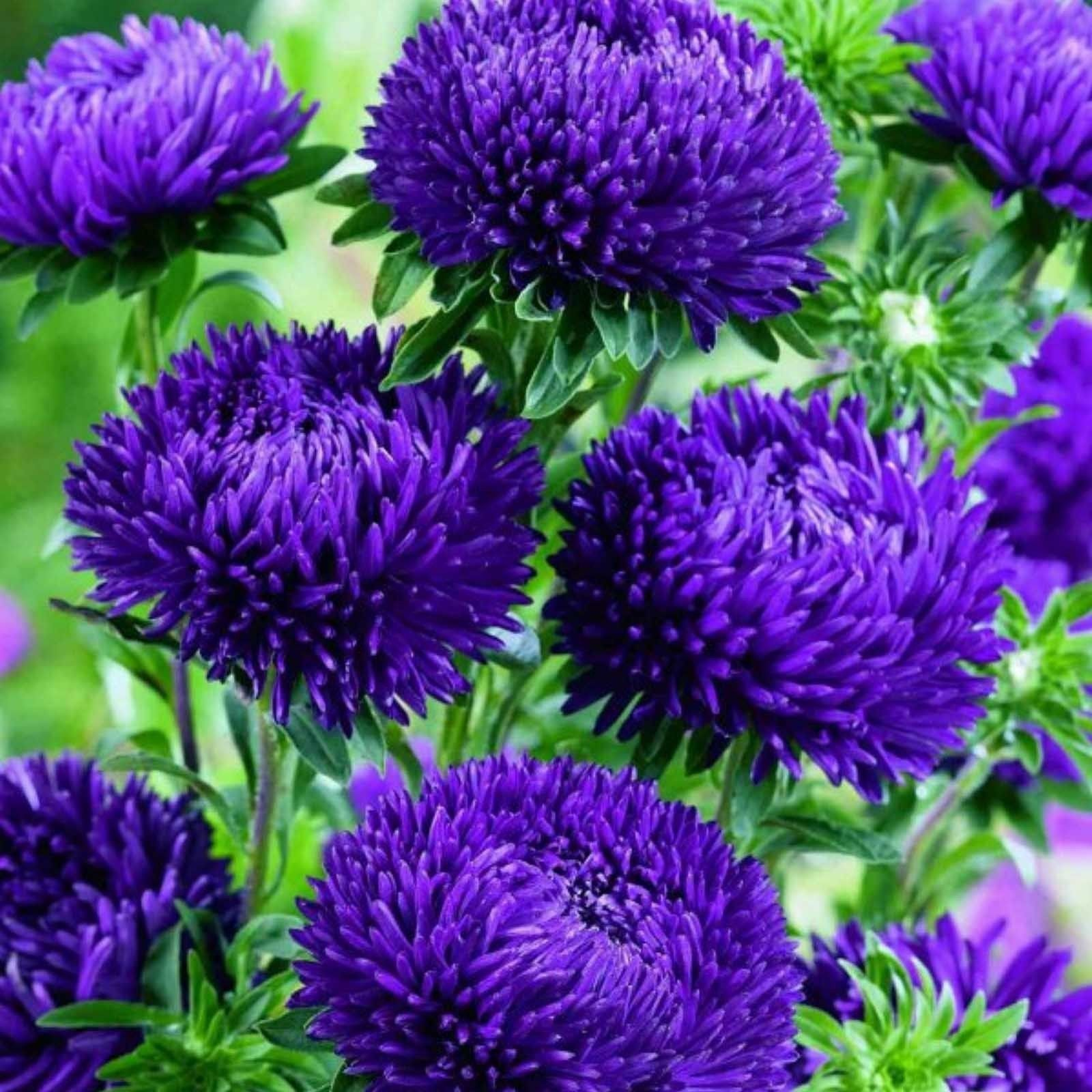 Chinese Aster Blue In 2020 Aster Flower Flower Seeds Chrysanthemum Seeds