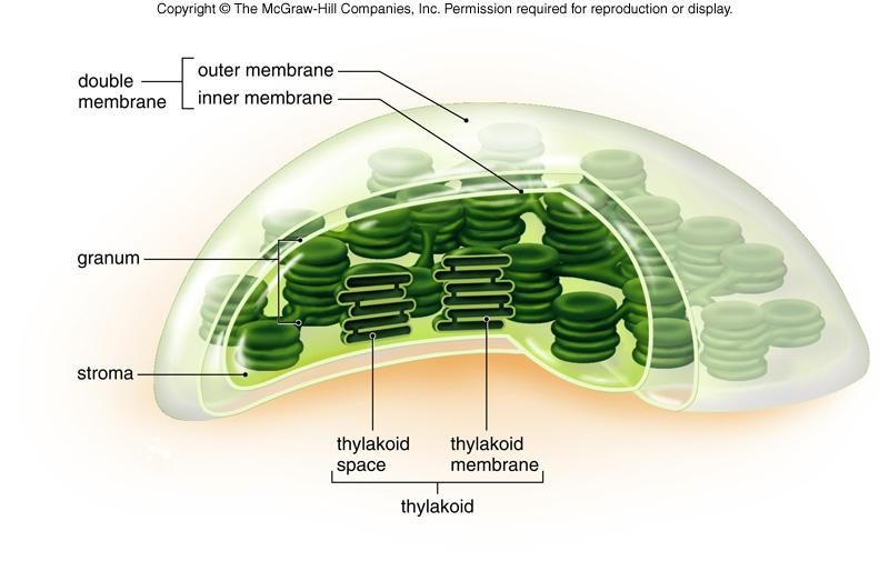Chloroplast organelles found in plant cells and some other chloroplast organelles found in plant cells and some other eukaryotic organisms conduct photosynthesis carry out almost all fatty acid synthesis ccuart Gallery