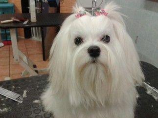 Toelettatura barboncino ~ Toelettature toelettatura cani maltese pinterest maltese