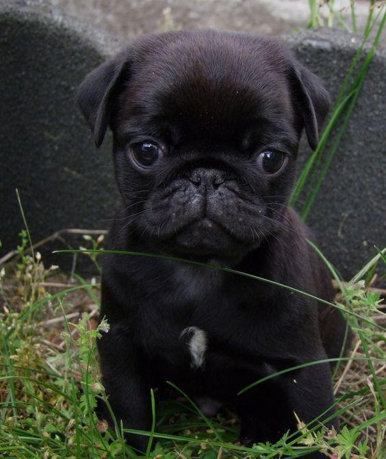 Buy Or Sell Dogspuppiesforsale Com Http Ift Tt 2aqcpqd Black