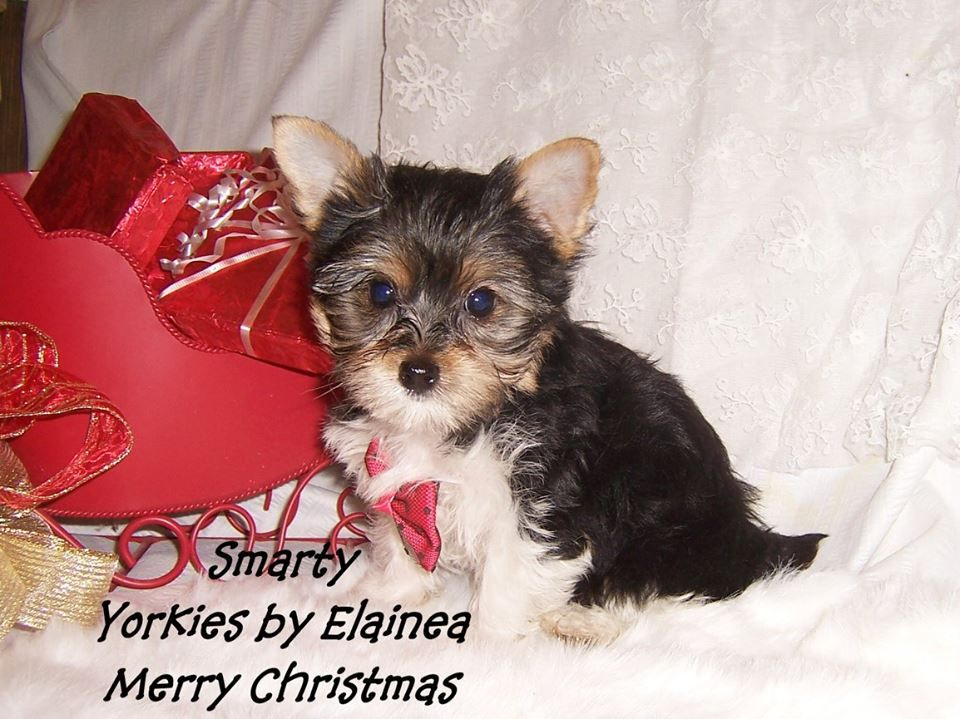 Parti Yorkie Puppy For Sale In Arkansas Tiny Yorkie Puppies For