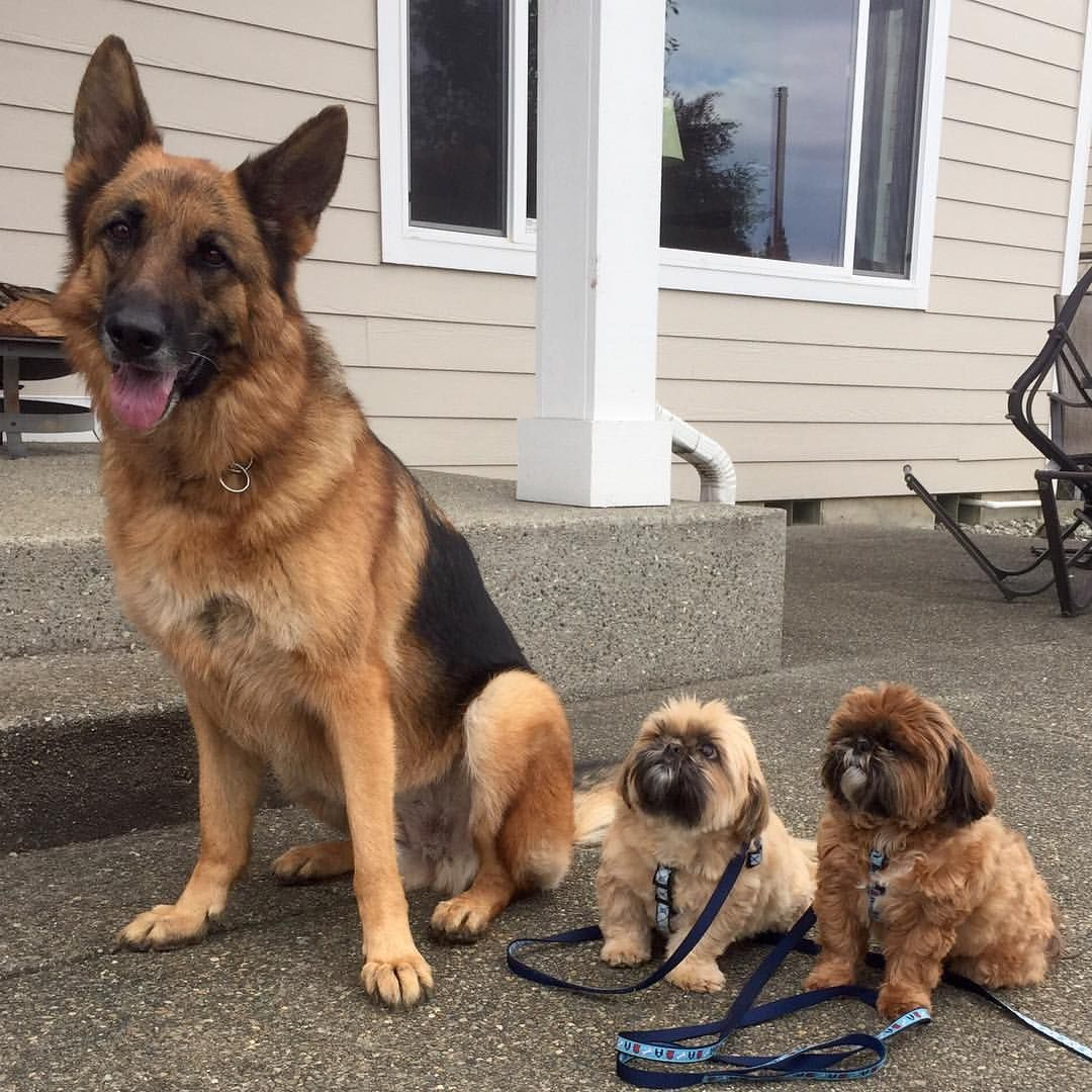 Shih Tzus Freddie And Jack W Kona The German Shepherd Animais Look