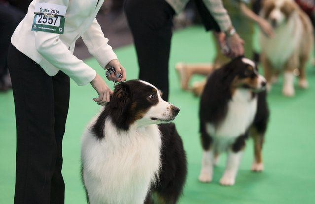 Border Collie Dogs And Their Owners Compete During The Crufts Dog