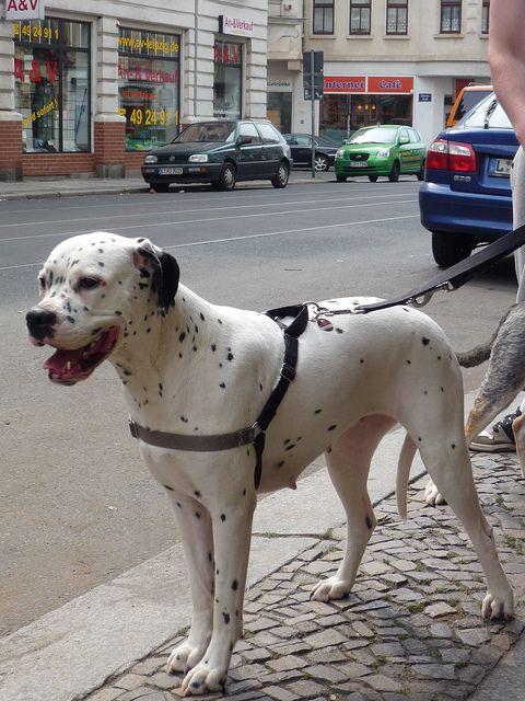 White Boxer X Dalmation Cross Breed
