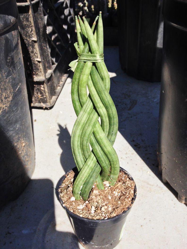Hanging Snake Plant