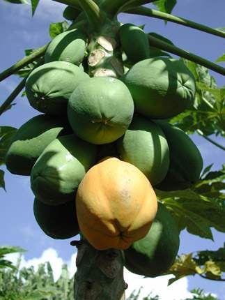 medicinal plants and herbs : carica papaya, pawpaw  Actions
