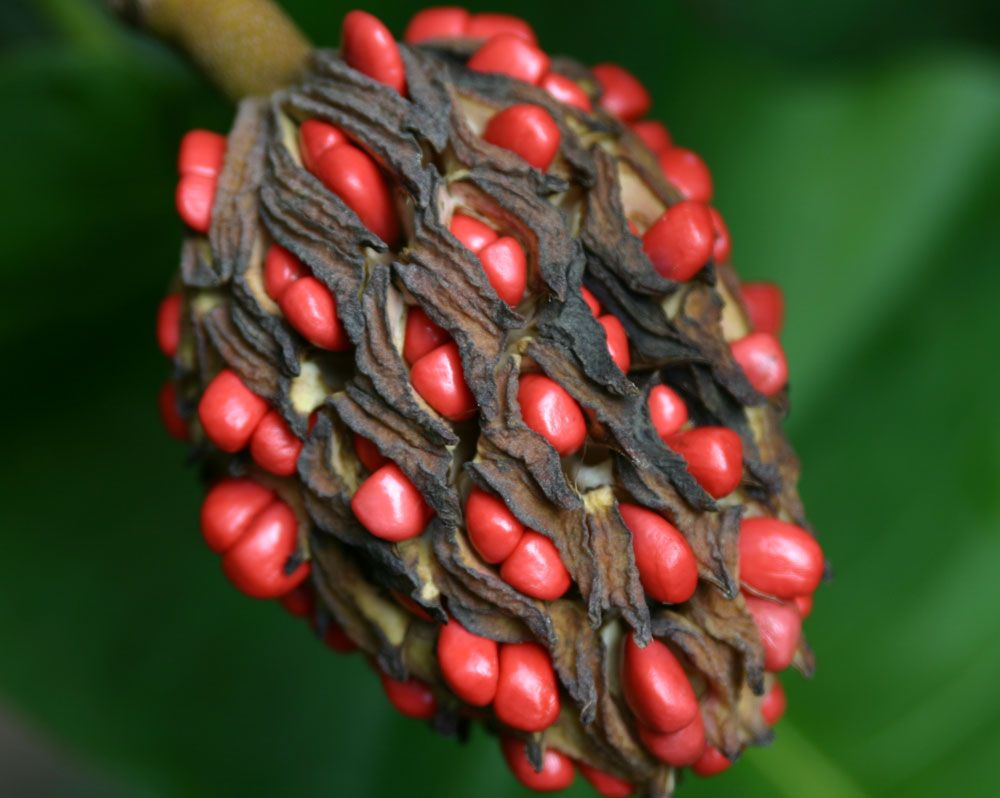 Magnolia Seed Pod Gardening Seeds Plants Nature Photography