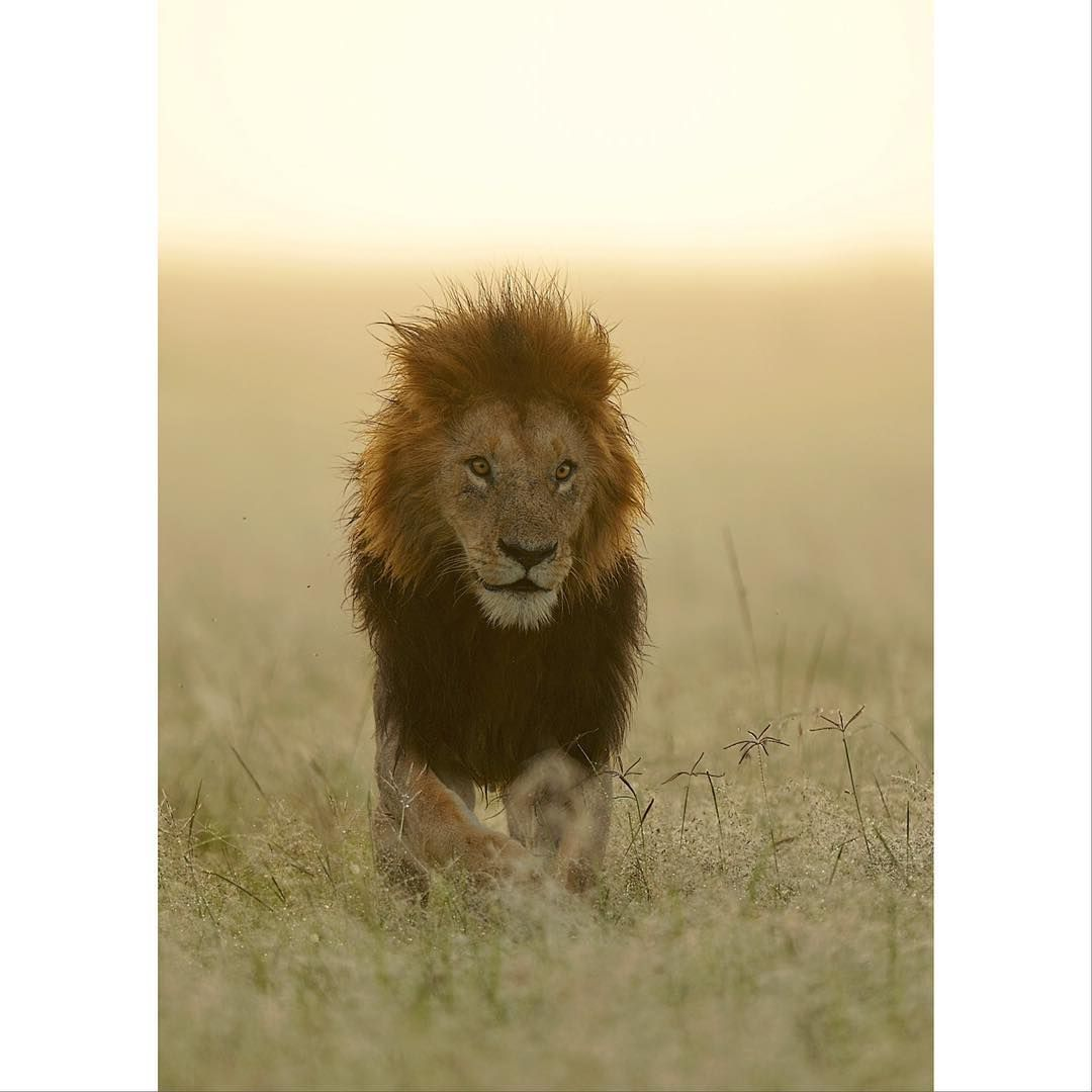 One of the Notch boys taken at sunrise on the Masai Mara  Thanks for looking  Brian  #notchboys #ron #lion #africa #kenya #masaimara #wildlifephotography #naturephotos #safari #bigcat
