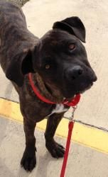 Kacee Is An Adoptable Cane Corso Mastiff Dog In Dallas Texas Kacee Is A Gentle And Sweet Girl Wh Mastiff Dogs Dogs Cane Corso