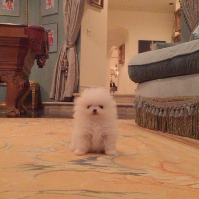 @ParisHilton is obsessed with her little cotton ball @Princess_Paris_Jr_The_Pom. So precious!  #ParisHilton #PrincessParisJr