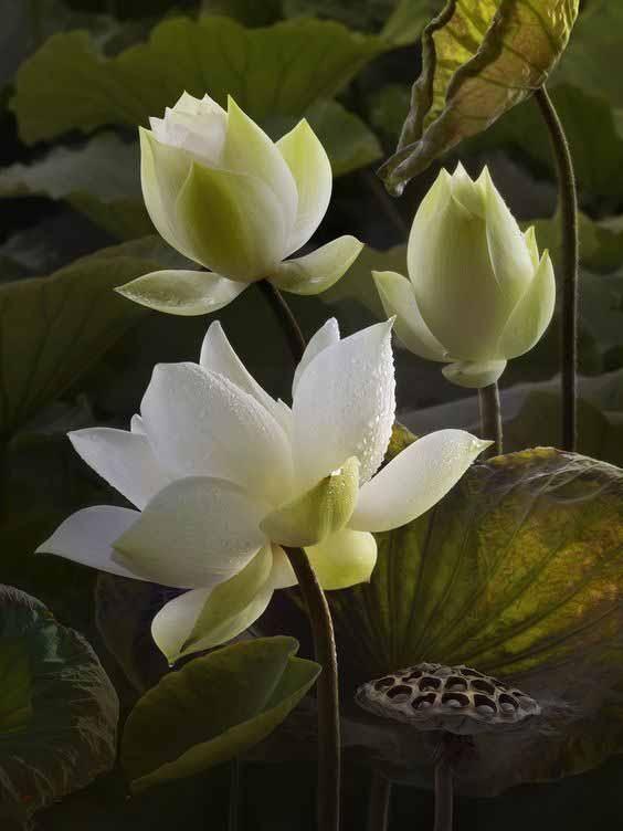 Pin Oleh Felia Di Lotus Bunga Cantik Bunga Bunga Indah Lukisan Bunga