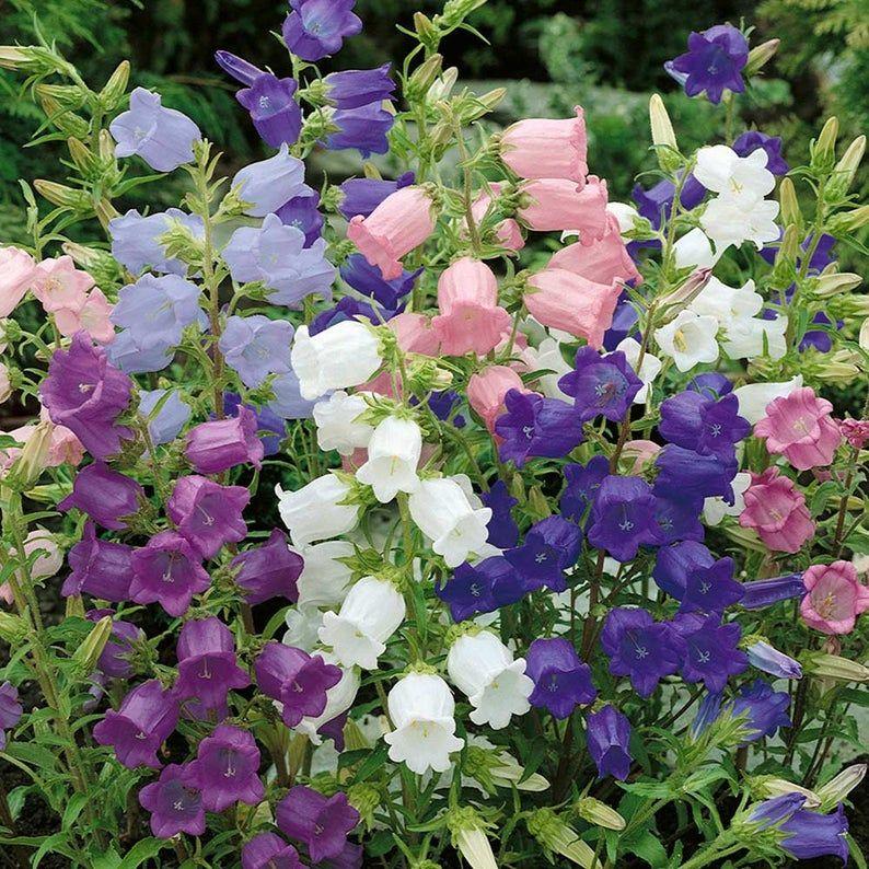 Bell Flower Mix 100 Seeds Campanula Medium Canterbury Etsy In 2020 Flower Seeds Plants Campanula