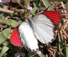 Colotis danae - Wikipedia, the free encyclopedia