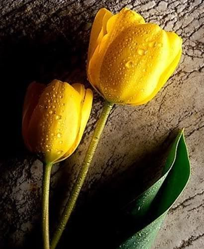 Photo By Silvia Cristina In 2020 Yellow Tulips Tulips Flower Backgrounds