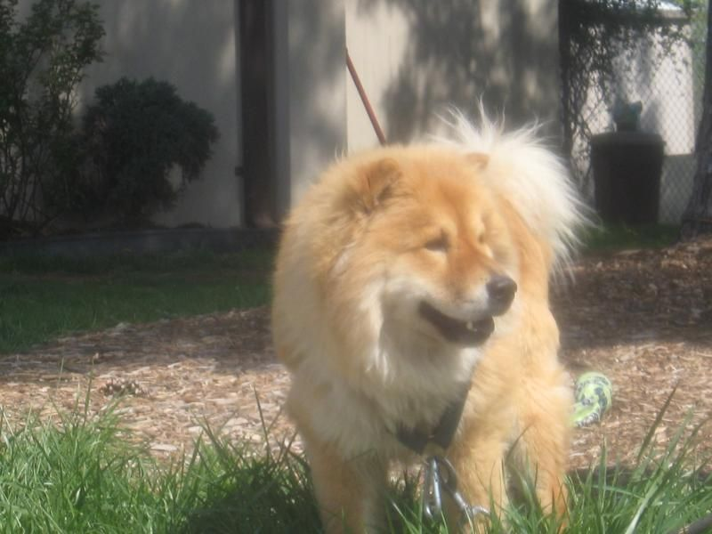 Adopt Rocky On Animals Chow Chow Dogs Animal Shelter