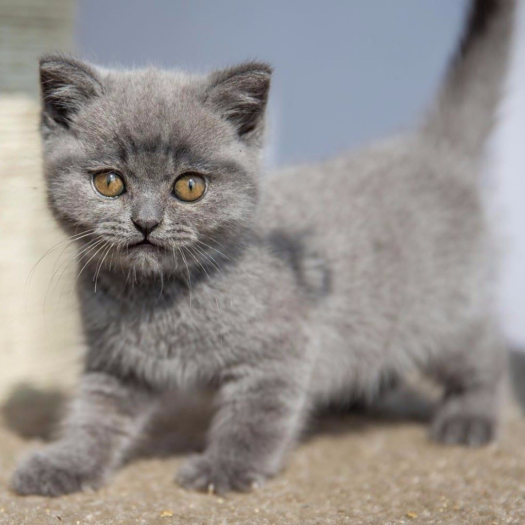 How To Teach Tour Cat To Do Tricks Never Punish Your Cat Cats Respond To Positive Reinforc British Shorthair Cats British Shorthair Kittens British Shorthair