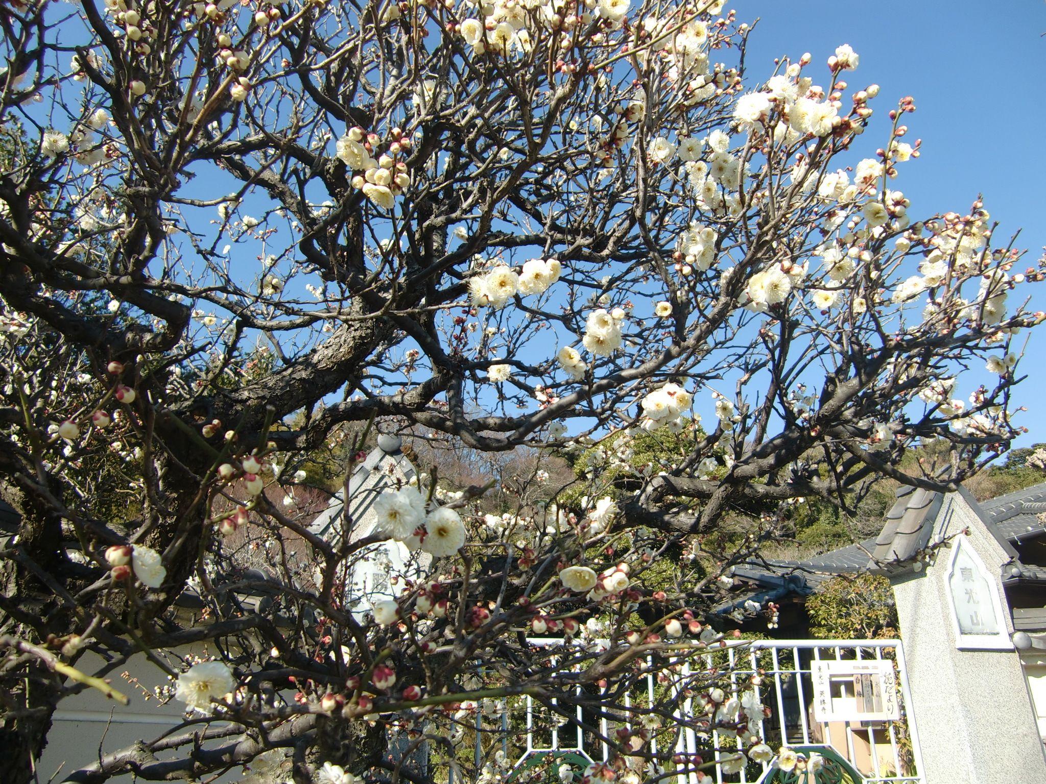 梅の花、2月初旬の英勝寺