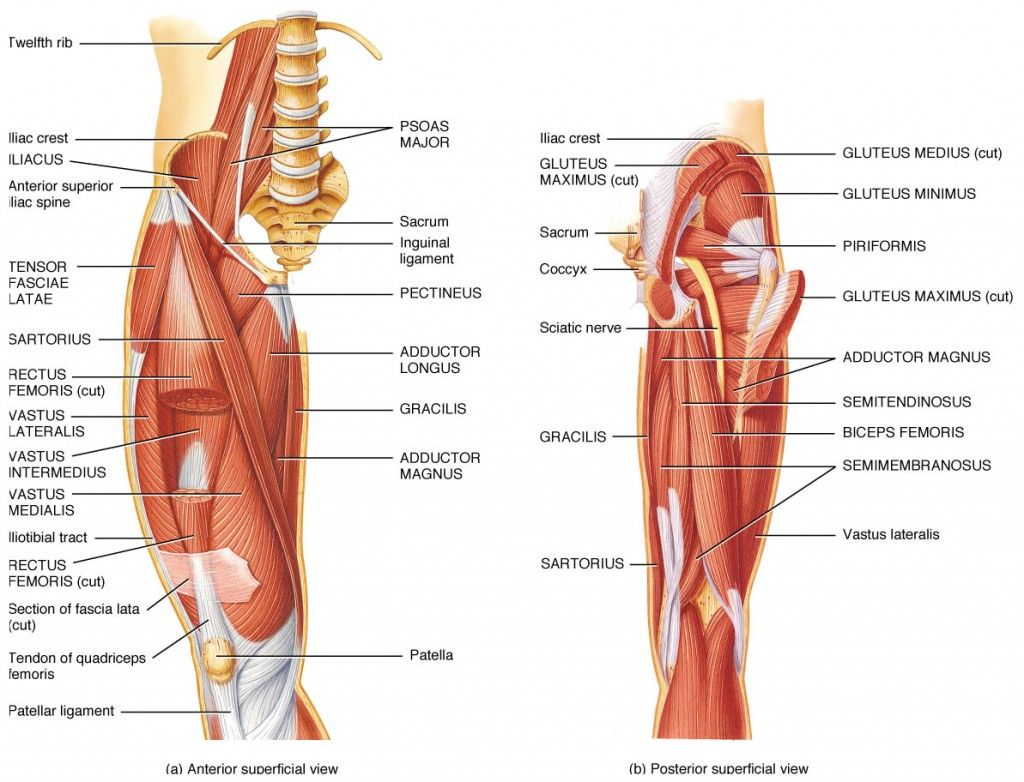 Skeleton of the lower limbs of man: structure and functions