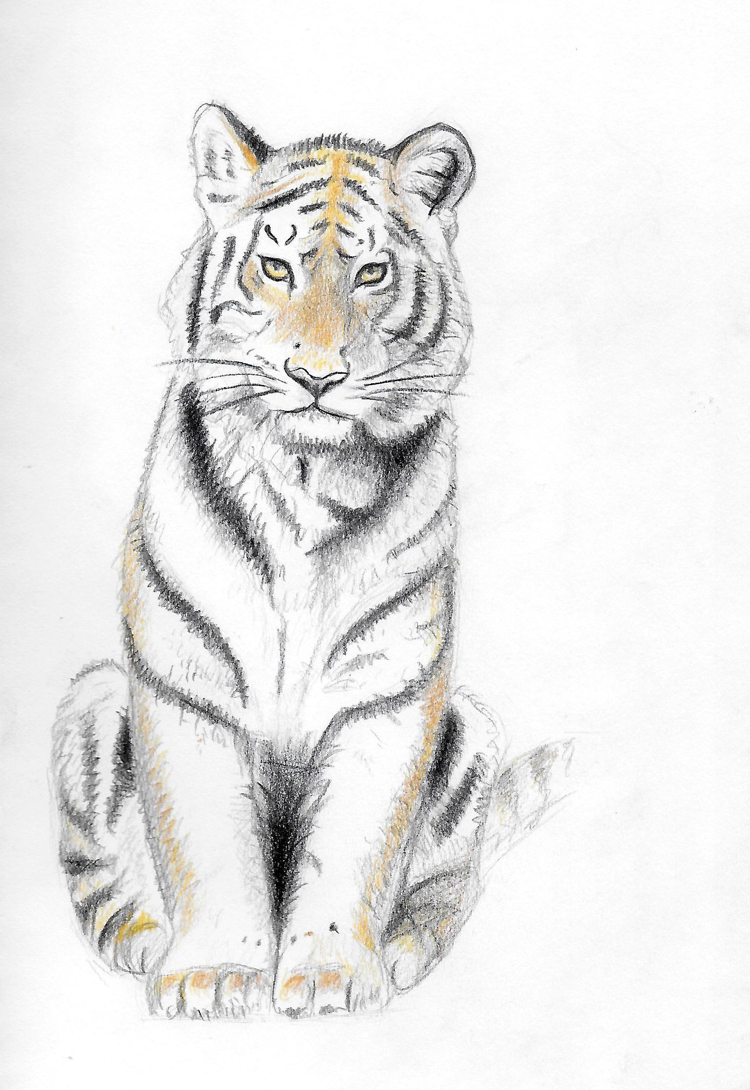 Zeichnung Von Mir Tiger Tiger Farbstift Zeichnen Animalart