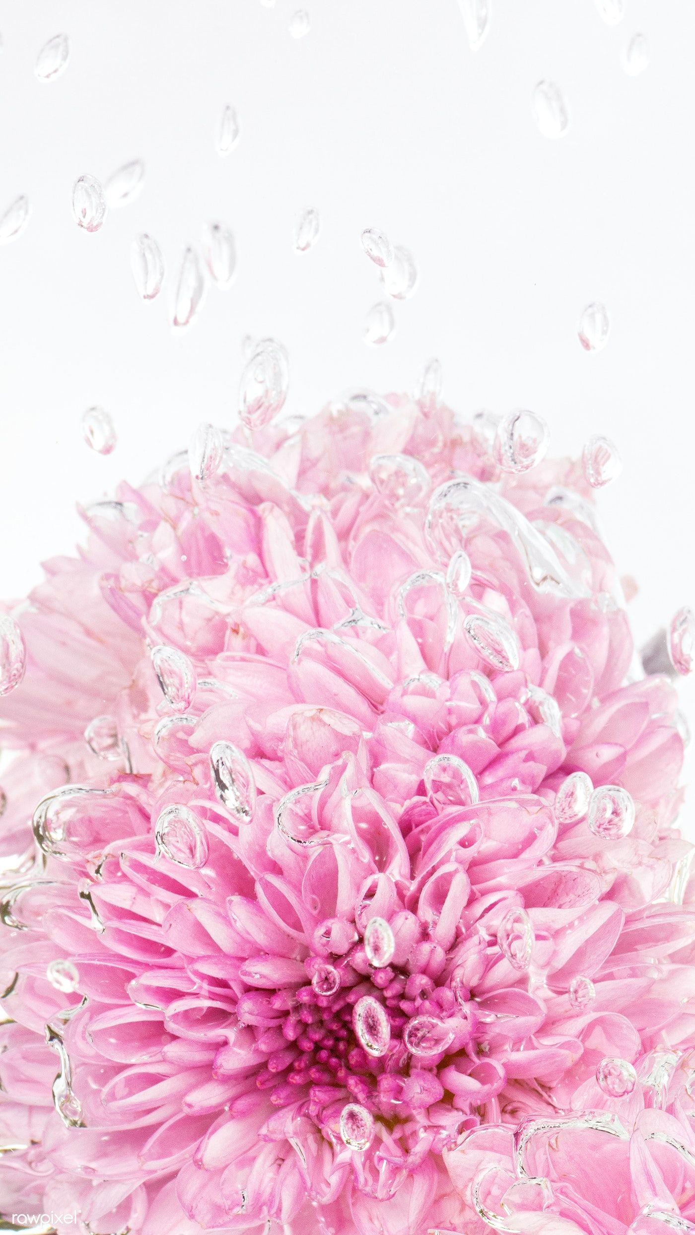 Download Premium Image Of Pink Chrysanthemum Flower In Water With Air Flower Aesthetic Chrysanthemum Flower Flowers Photography Coolest chrysanthemum flower wallpaper