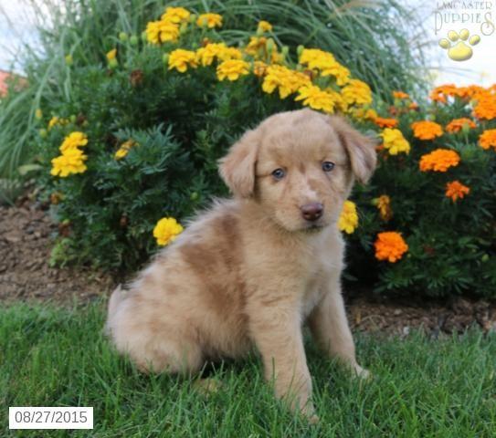 Alex English Bulldog Hybrid Puppy For Sale In Millersburg Oh