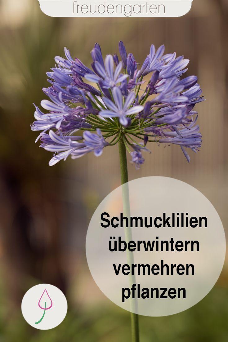Schmucklilien pflanzen und pflegen