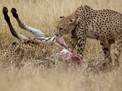 Two Cheetahs At A Zebra Kill Kruger National Park South Cheetahs Zebras Animals