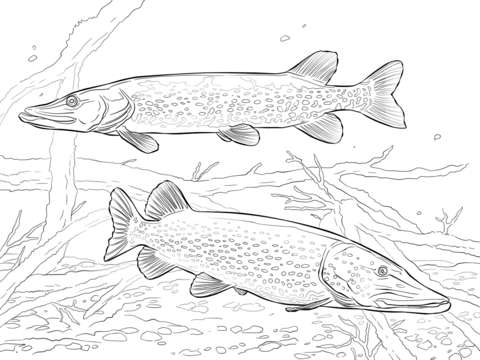 Two Northern Pikes Coloring Page Free Printable Coloring Pages Fish Coloring Page Fish Drawings Detailed Coloring Pages