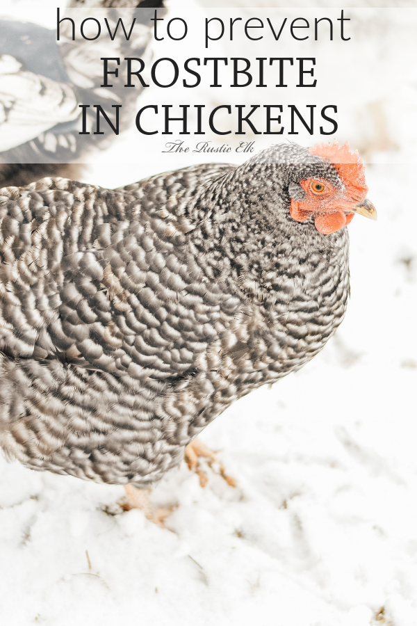 Taking care of your backyard chickens in the winter on ...