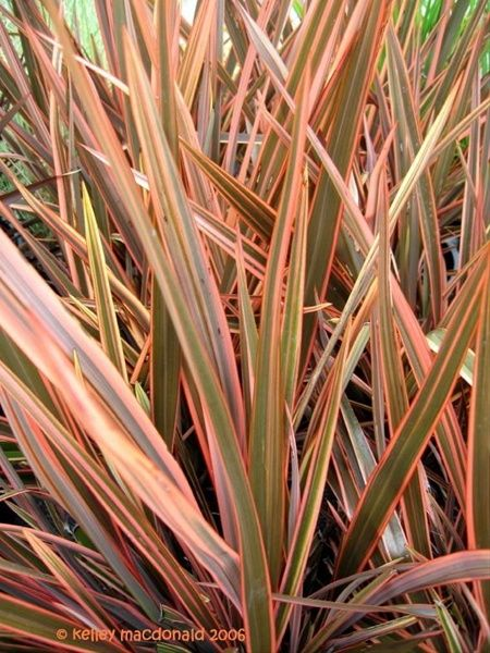 Flax Sundowner Australia New Zealand Foliages Greens Foliages And Branches Flowers By Category New Zealand Flax Landscaping Plants Ornamental Grasses