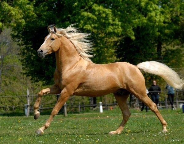 Un cheval palomino au galop th me sur les chevaux et les - Comment dessiner un cheval au galop ...