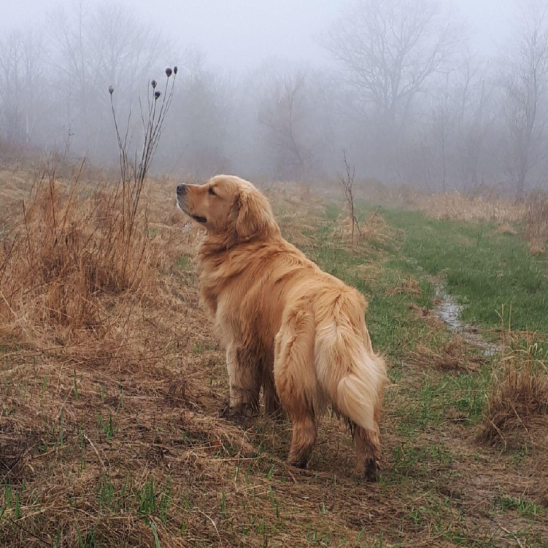 Golden Retriever In Mythical Misty Surroundings Goldenretriever