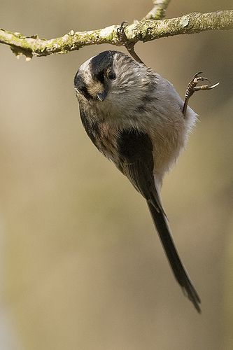 Chapim-rabilongo - Aegithalus caudatos by www.birdsineurope.com - Tomás Martins, via Flickr