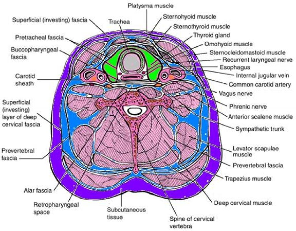 Cross Sectional Anatomy Of Neck Muscles Neck Muscle ...