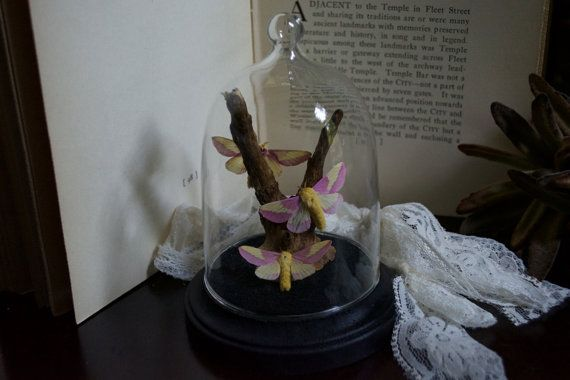 Rosy Maple Moth Glass Dome Display by TheButterflyBabe on Etsy