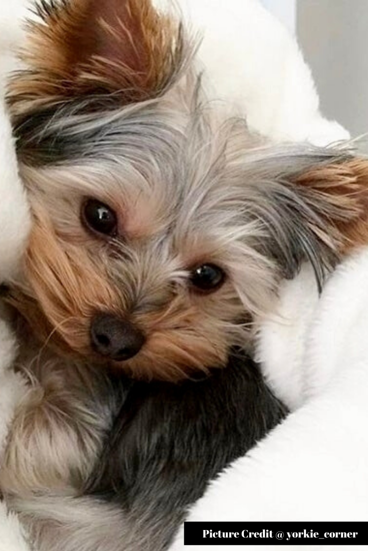 45 Yorkshire Terrier Puppies Pictures That Will Steal Your Heart Away Yorkshire Terrier Puppies Cute Teacup Puppies Terrier Puppies