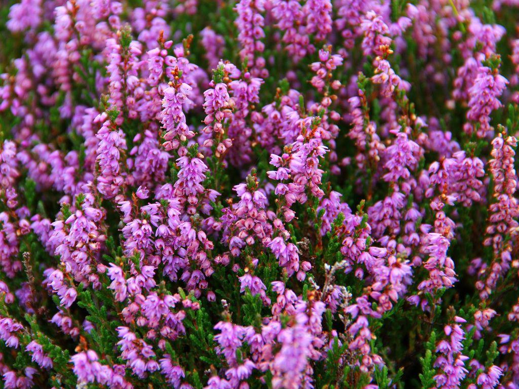 Scottish heather Garden flowers perennials, Scottish