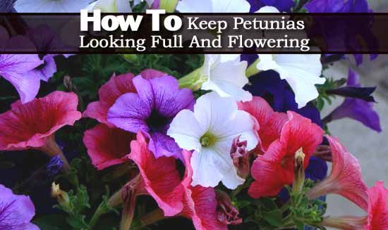 Petunia Care How To Grow And Keep Petunia Flowers Blooming