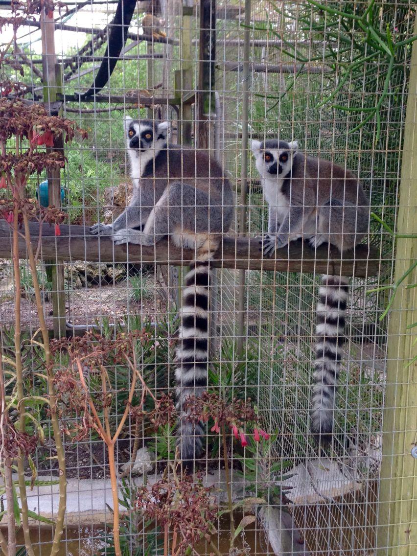 Lemurs At Periwinkle Park Campground And Rv Park Sanibel