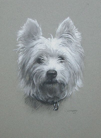 Westie Dog Portrait Drawing In Charcoal And White Chalk On