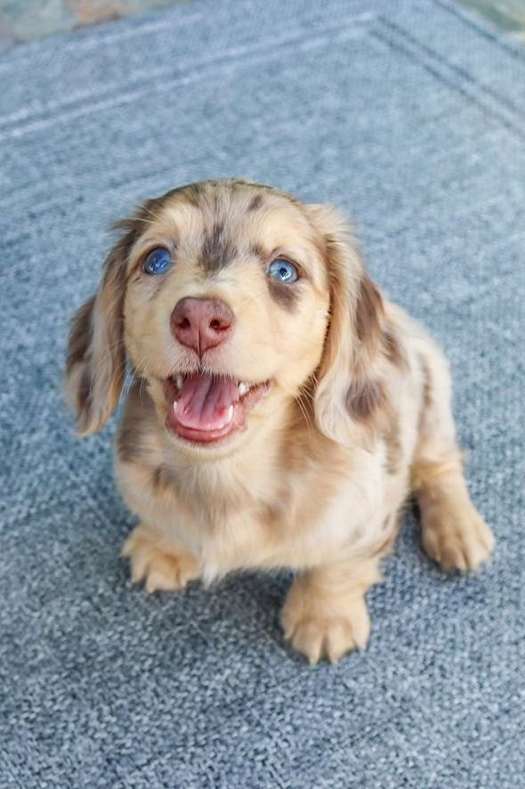The Cutest Dachshund Dog Puppy In 2020 Cute Baby Animals Cute Dogs And Puppies Baby Animals Pictures