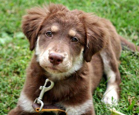 Golden Retriever Australian Shepherd Mix Puppies Photo